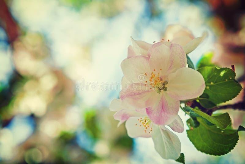 Sola flor del manzano floreciente encendido muy fotografía de archivo libre de regalías