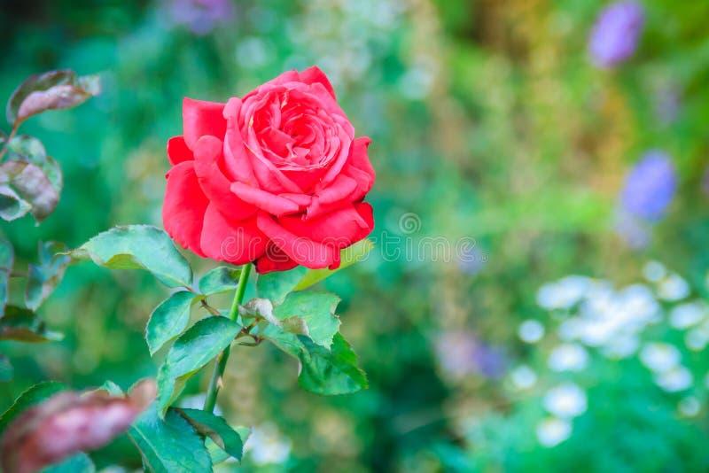 Sola flor hermosa de la rosa del rojo en rama verde en el jardín imágenes de archivo libres de regalías