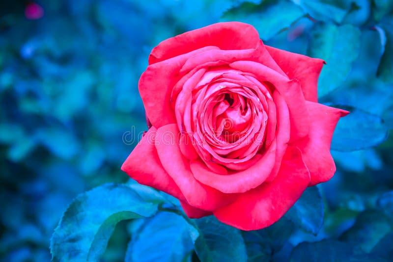 Sola flor hermosa de la rosa del rojo en rama verde en el jardín fotos de archivo libres de regalías