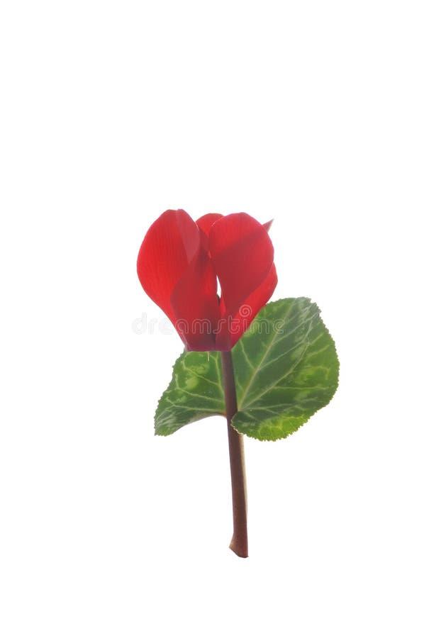 Sola flor roja del ciclamen en un fondo blanco fotografía de archivo libre de regalías