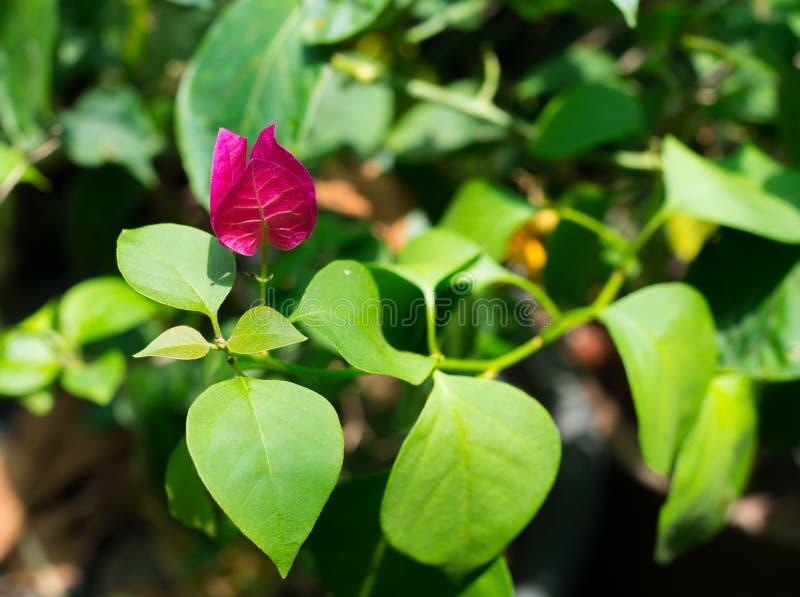 Sola flor rosada preciosa hermosa de la buganvilla con ella hojas verdes en una estación de primavera en un jardín botánico fotografía de archivo libre de regalías