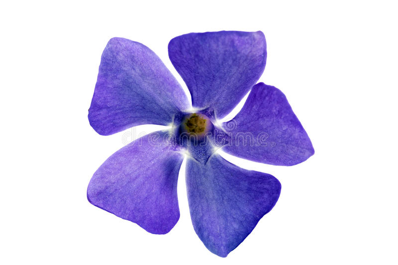 Sola flor violeta. Primer en el fondo blanco. Aislado. fotografía de archivo libre de regalías