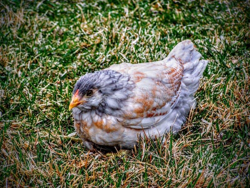 Sola gallina blanca, del gris y de Brown joven del pollo en césped de la hierba fotografía de archivo libre de regalías