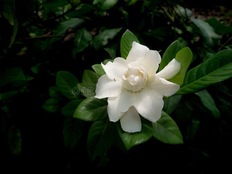 Sola Gardenia Flower Blooming blanca fotografía de archivo