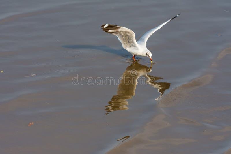 Sola gaviota que vuela sobre el mar de Bangpu fotografía de archivo