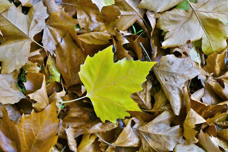 Sola Hoja De Color Verde Amarillo Del árbol Plano En Las Hojas Secas ...