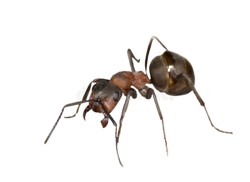 Sola hormiga marrón imagen de archivo libre de regalías