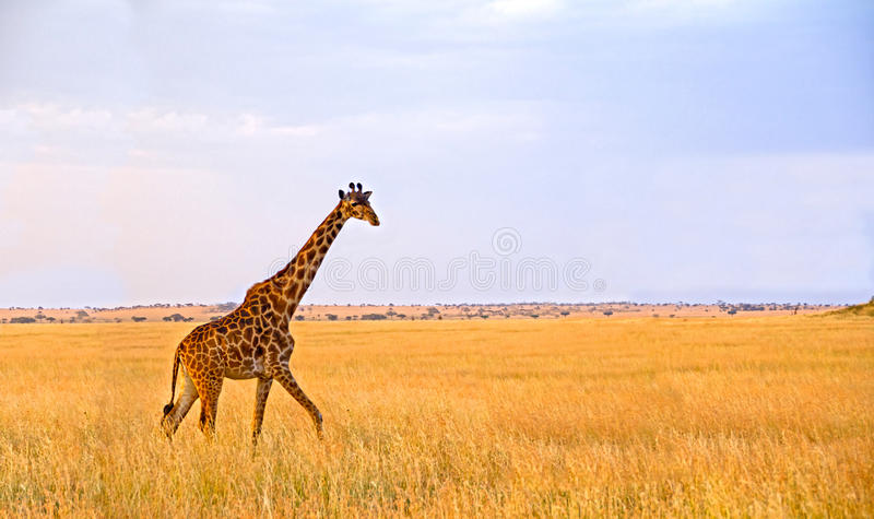 Sola jirafa que recorre en el Serengeti fotografía de archivo