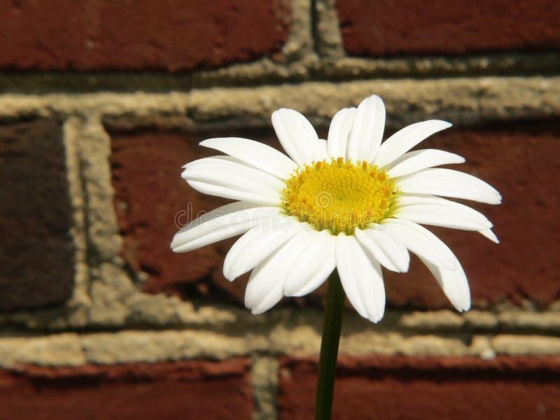Sola margarita blanca fotos de archivo
