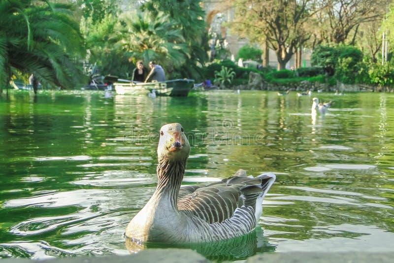Sola natación del ganso en la charca en el parque de Ciutadella, Barcelona, España fotos de archivo