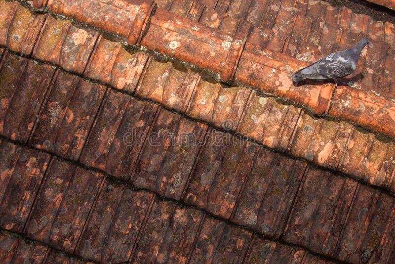 Sola paloma en el tejado foto de archivo libre de regalías