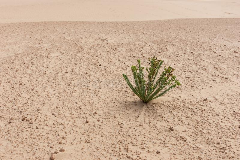 Sola planta en la arena en el desierto fotografía de archivo