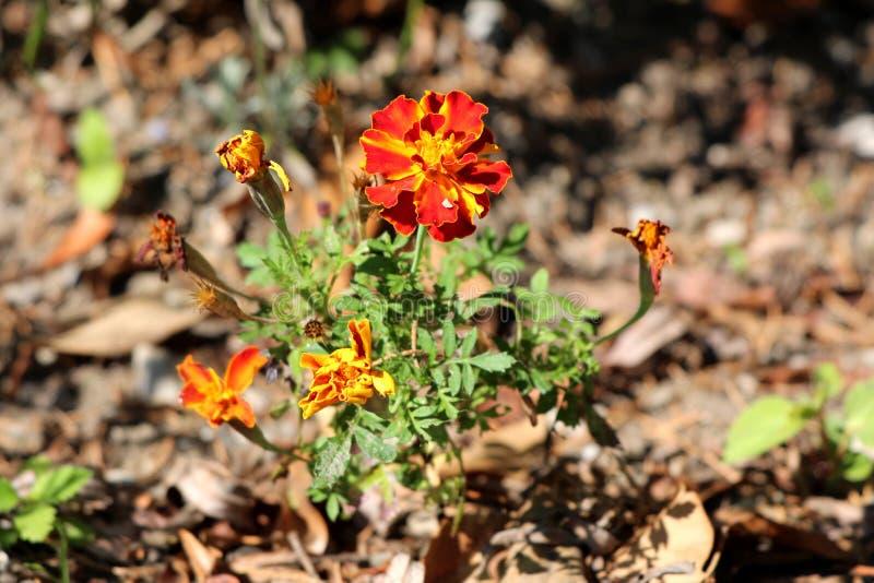 Sola planta maravilla o del erecta mexicana de Tagetes con las flores hechas de pétalos rojos y amarillos brillantes en backgr ve fotos de archivo libres de regalías