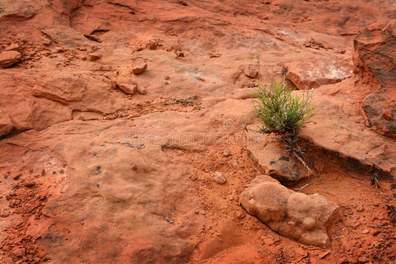 Sola planta verde en calor de la arena del desierto fotos de archivo