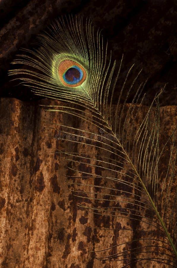 Sola pluma del pavo real en el metal acanalado foto de archivo libre de regalías