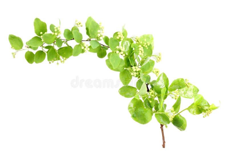 Rama verde joven con la hoja y las flores fotos de archivo