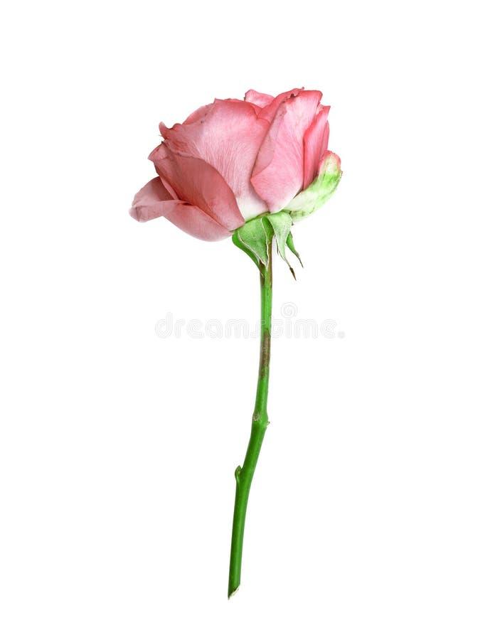 Sola rosa hermosa del rosa en el fondo blanco fotografía de archivo libre de regalías