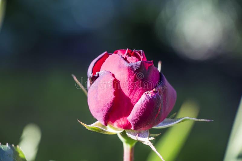 Sola rosa oscura del rosa fotografía de archivo libre de regalías