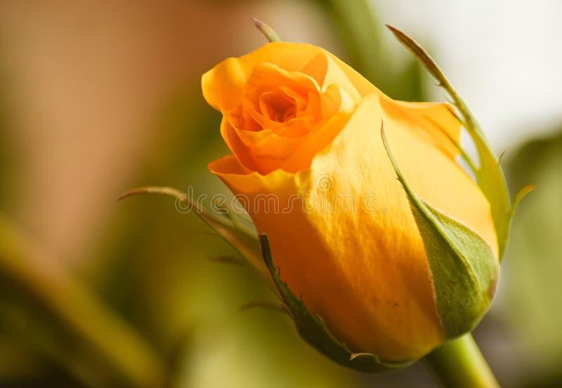 Sola Rose Closeup amarilla foto de archivo libre de regalías