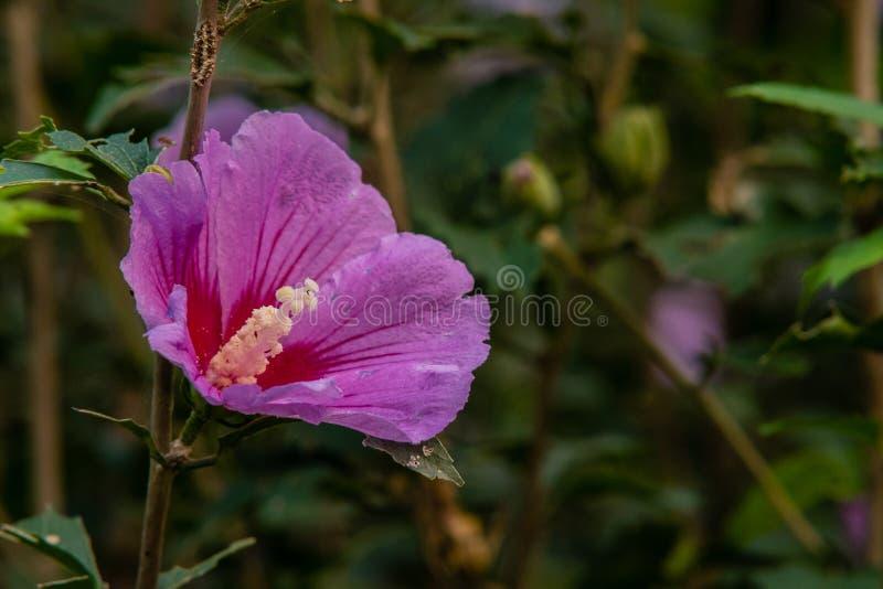 Sola Rose de Sharon rosada fotografía de archivo