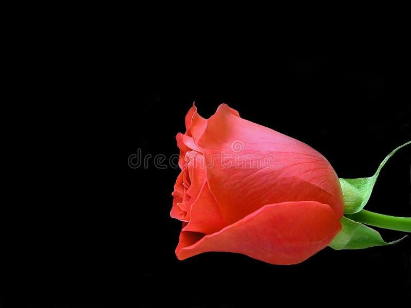 Download Sola Rose roja foto de archivo. Imagen de floración, pétalos - 182204