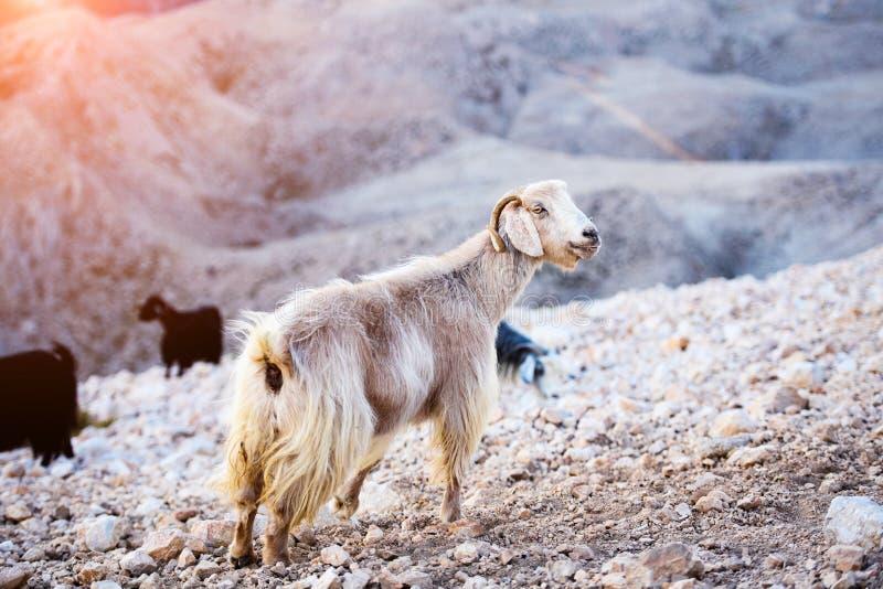 Sola situación de la cabra de montaña en el top de la montaña de Tahtali, Turquía imagenes de archivo