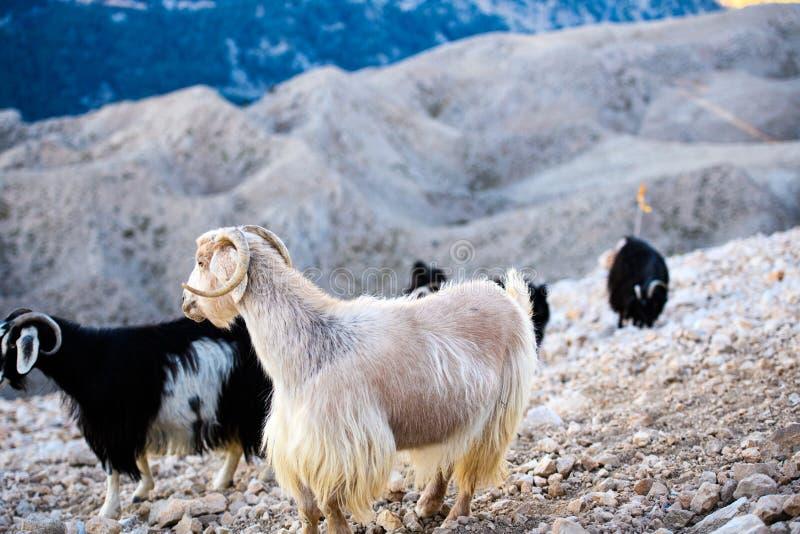 Sola situación de la cabra de montaña en el top de la montaña de Tahtali, Turquía fotografía de archivo libre de regalías