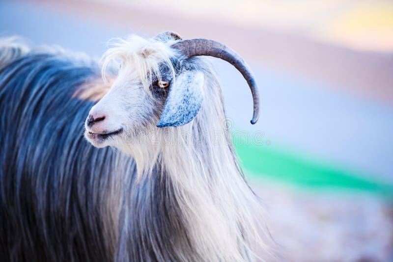 Sola situación de la cabra de montaña en el top de la montaña de Tahtali, Turquía fotos de archivo libres de regalías
