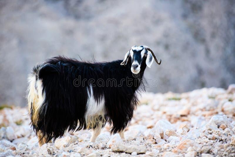 Sola situación de la cabra de montaña en el top de la montaña de Tahtali, Turquía foto de archivo