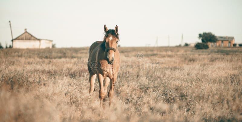 Solamente caballo que pasta en prado en puesta del sol foto de archivo