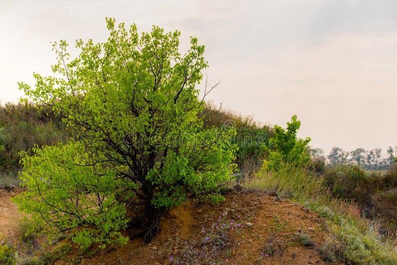 Solamente o solo un árbol en el acantilado de la colina de la montaña imágenes de archivo libres de regalías
