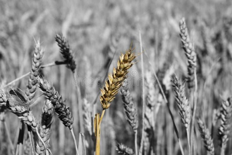 Solamente punto del trigo imagen de archivo libre de regalías