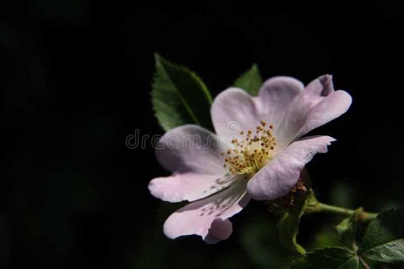 Solamente Rosa dulce floreciente Rose And Young Green Leaves salvaje fotografía de archivo libre de regalías