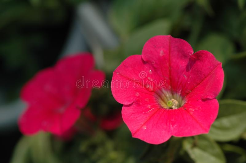 Petunia hybrida Vilm. Is Solanaceae, Petunia annual herb, up to 60 cm, leaf blade ovate, apex acute, lateral veins not obvious, flowers solitary in leaf axils royalty free stock photos