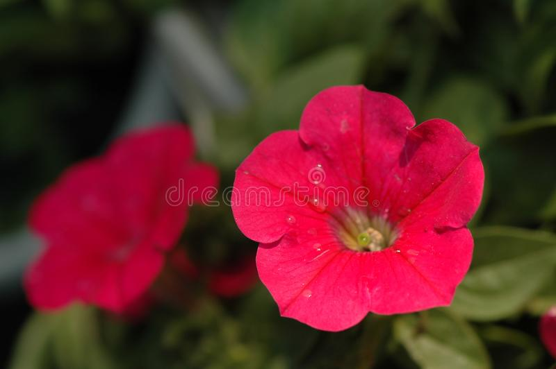 Petunia hybrida Vilm. Is Solanaceae, Petunia annual herb, up to 60 cm, leaf blade ovate, apex acute, lateral veins not obvious, flowers solitary in leaf axils stock images