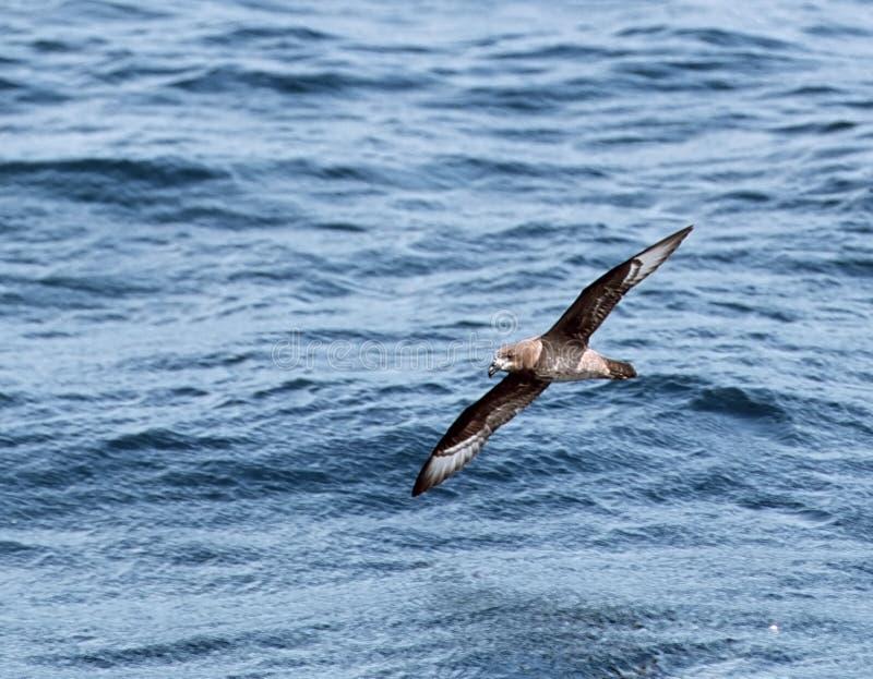 Solanders stormvogel,上帝海燕, Pterodroma solandri 库存照片