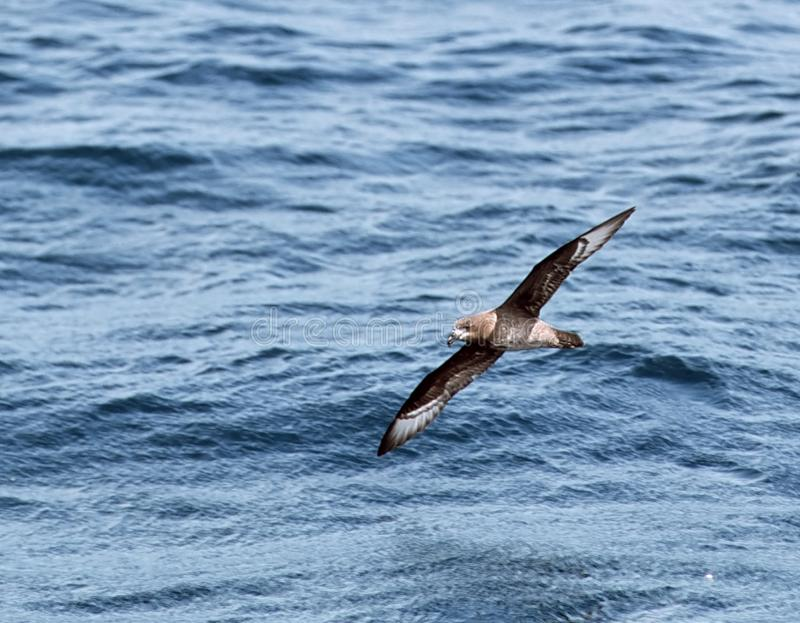 Solanders stormvogel, Providence petrel, Pterodroma solandri. Solanders stormvogel in vlucht, Providence petrel in flight stock photos