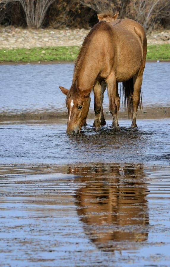 Solankowi Rzeczni dzikiego konia napoje z odbiciem zdjęcie stock