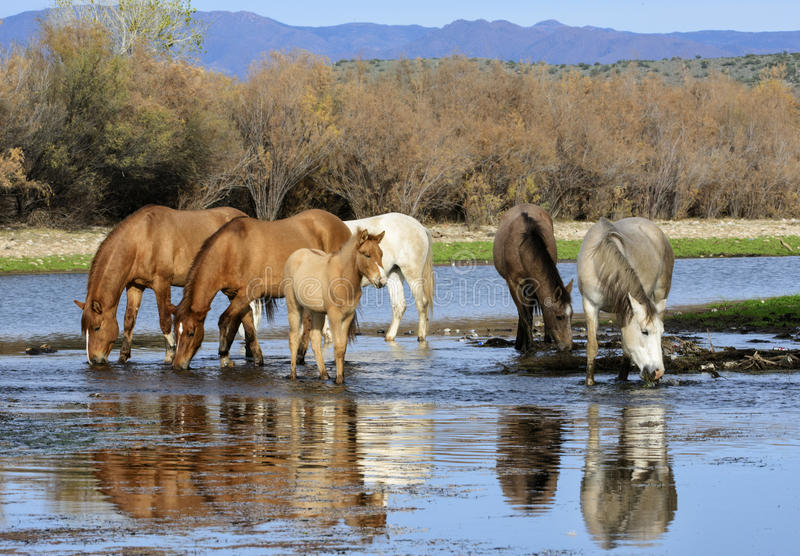 Solankowi Rzeczni dzikiego konia zespołu napoje obrazy stock