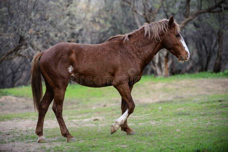 Solankowy Rzeczny dzikiego konia odprowadzenie fotografia royalty free