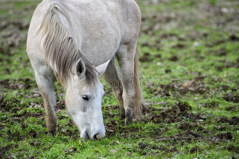 Solankowy Rzeczny dzikiego konia portret zdjęcia stock