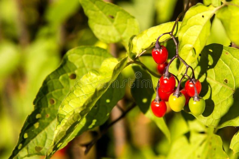 Solanum dulcamara, lecznicza roślina fotografia stock