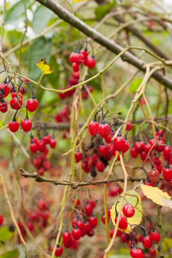 Solanum dulcamara, także znać jak słodkogórzka, słodkogórzka koralina, gorzka koralina, błękitny bindweed obraz royalty free