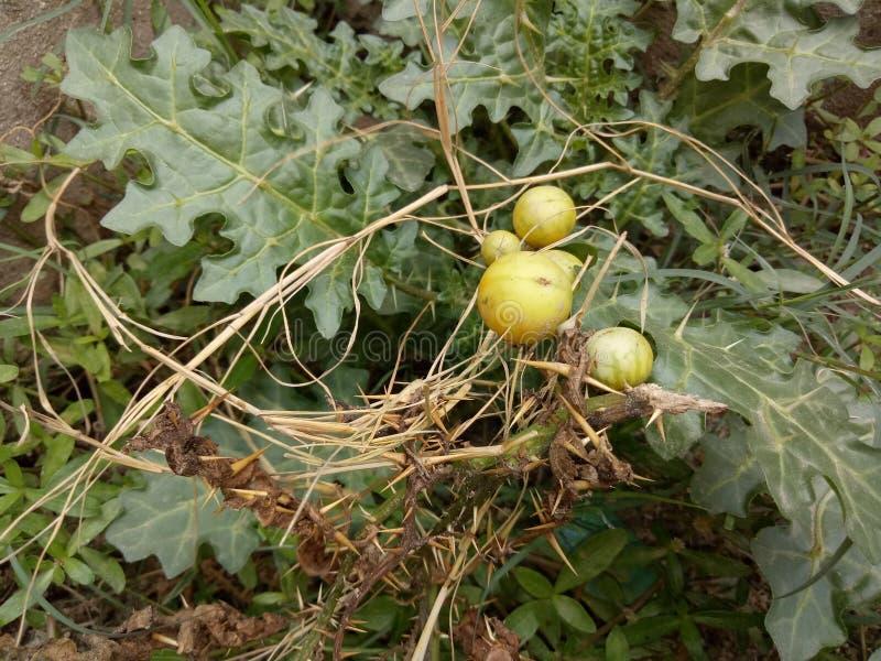 Solanum linnaeanum& x28; Afgański oset, jabłko Soda, gorzki jabłko, czarna koralina, obrazy stock