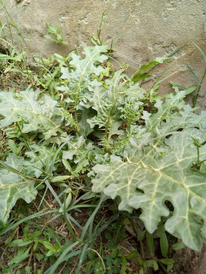 Solanum linnaeanum& x28; Afgański oset, jabłko Soda, gorzki jabłko, czarna koralina, fotografia stock