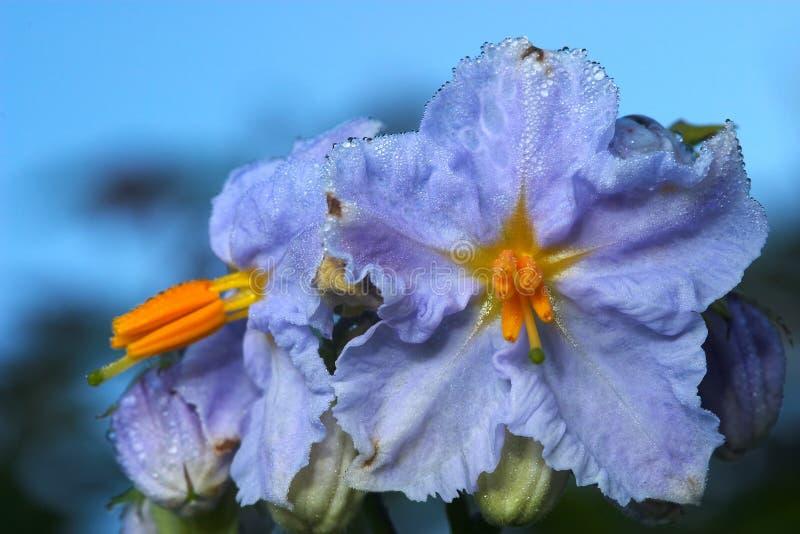 solanum nigrum kwiatów fotografia stock