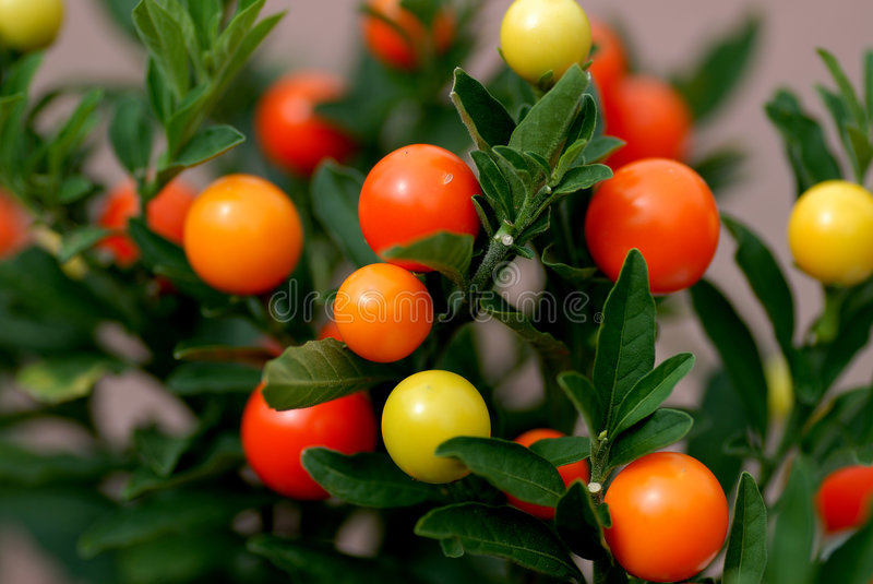 Solanum Pseudocapsicum Royalty Free Stock Images