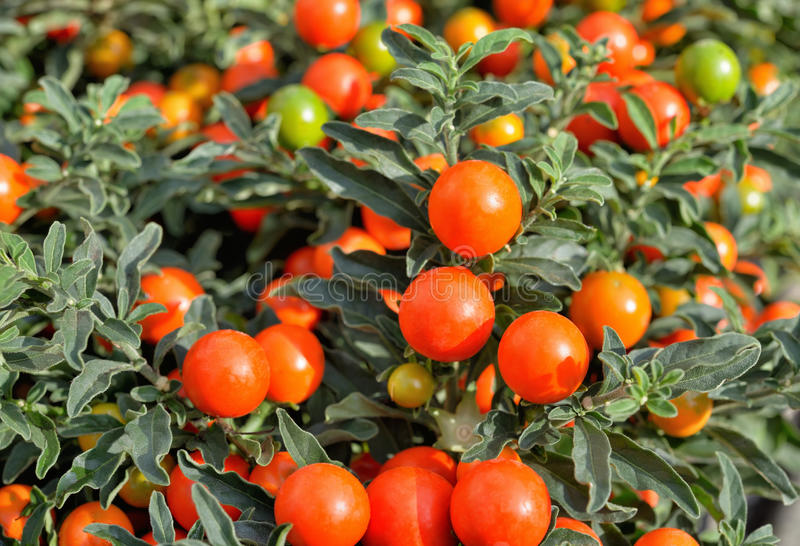 Solanum pseudocapsicum jagody zdjęcia royalty free