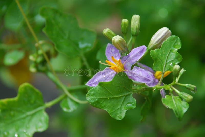Solanum trilobatum Λ. στοκ εικόνα