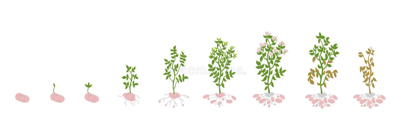 Solanum tuberosum dorośnięcia kartoflane Wektorowe Ilustracyjne rośliny Determinacja przyrost reżyseruje biologię royalty ilustracja